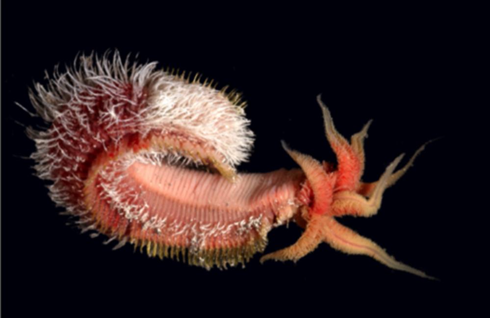 le-ver-polychete-alvinella-pompejana-vit-fond-des-oceans-dans-les-sources-hydrothermales_exact1024x768_l.png